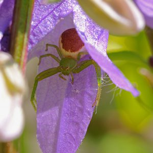 spiderverte